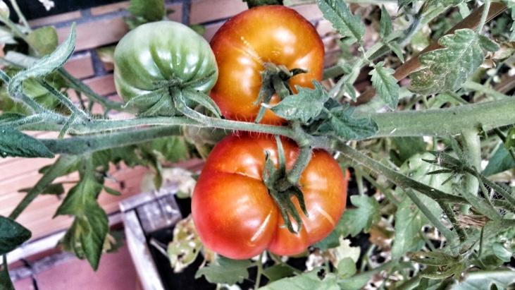 Tomates verdes